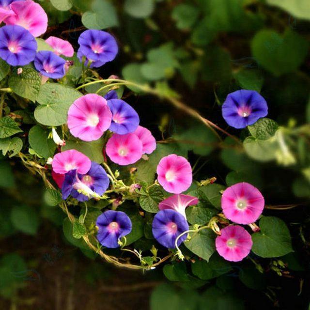 家居养花:家庭有毒气体的天然检测员,既好看又
