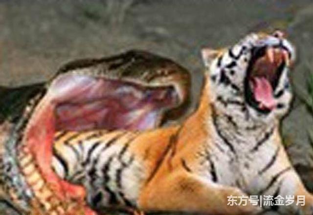 被挑战极限的大蟒蛇忍无可忍,开始发起了可怕的反击模式.