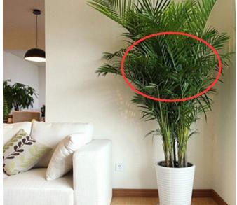 家中摆放植物带这几点风水,祛煞气,财神往家跑