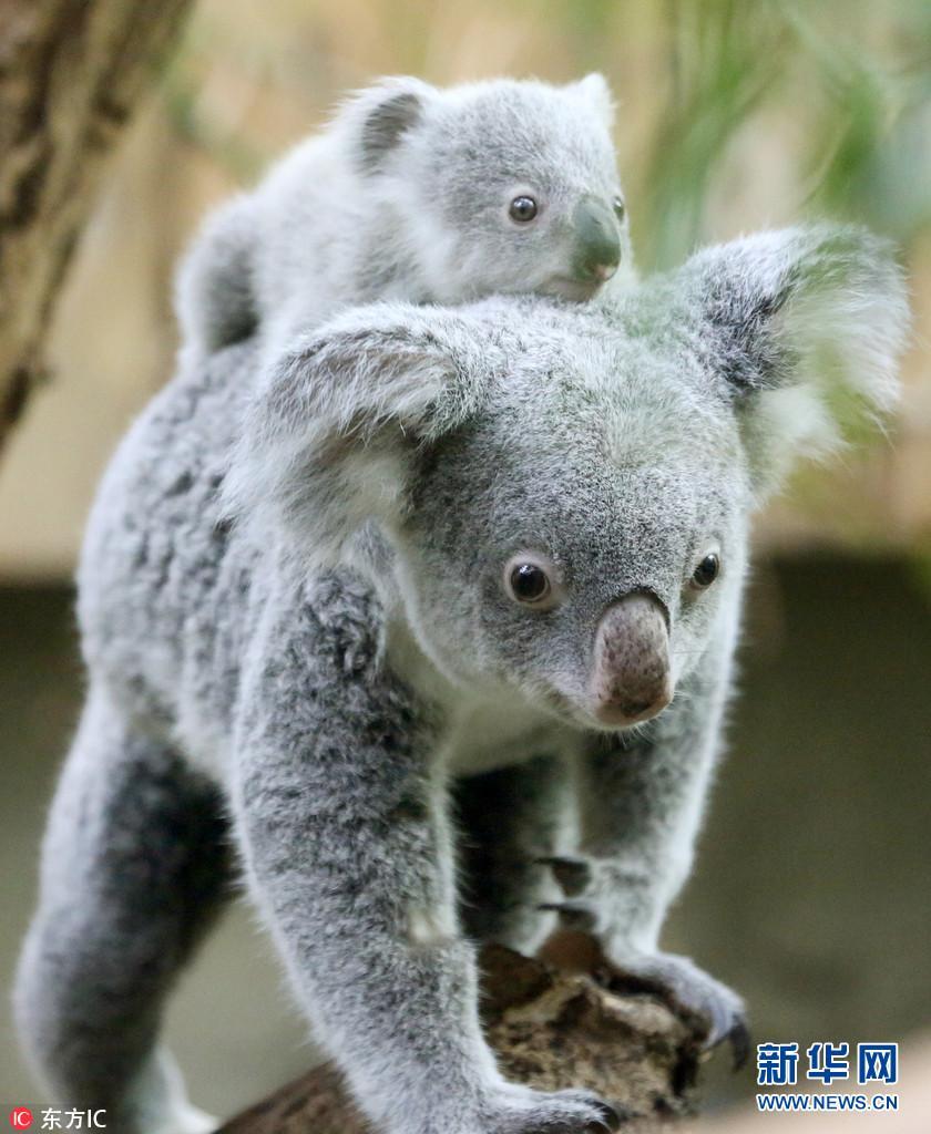 德动物园考拉母子呆萌上线 背娃遛弯表情神同步
